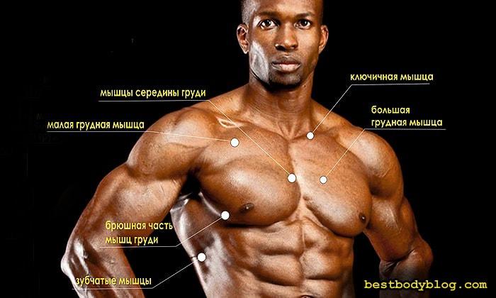 Строение грудных мышц