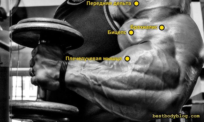 В упражнении молот работают бицепс, брахиалис и предплечья